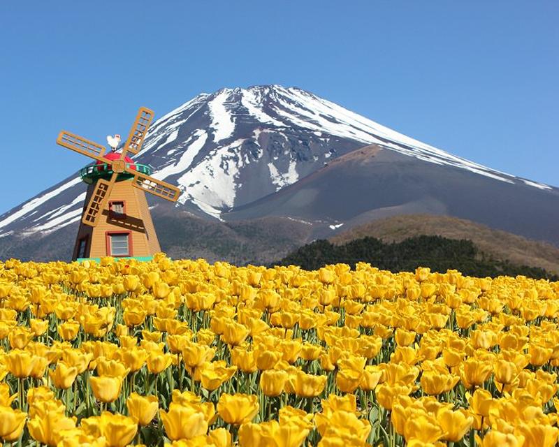 見頃はGW!まるで絵本の世界☆富士山とチューリップ