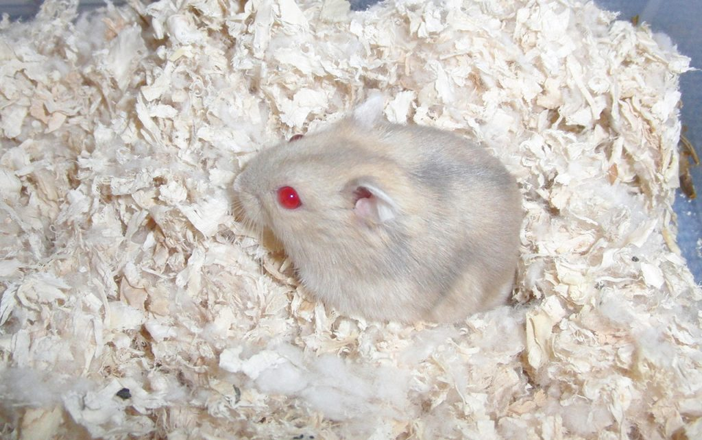 20110114172459!Campbell's_Hamster_(redeys)