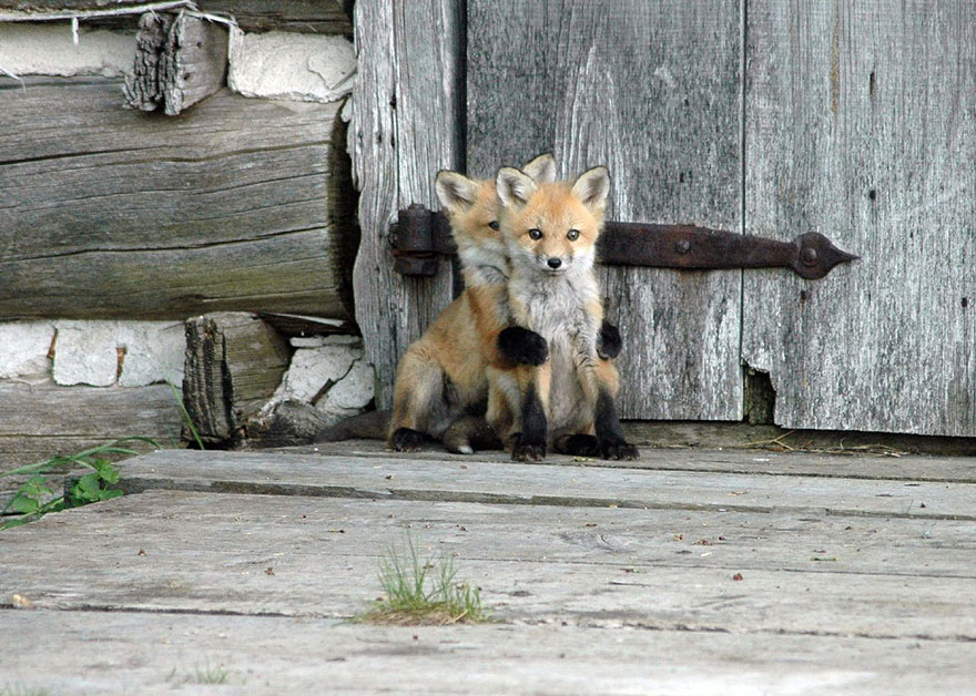 cute-baby-foxes-1-57443690cad50__880