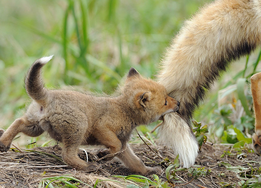 cute-baby-foxes-2-574436930d433__880