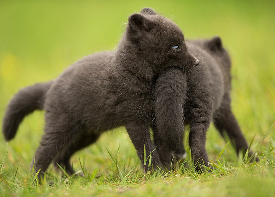 cute-baby-foxes-27-574459c9369b6__880