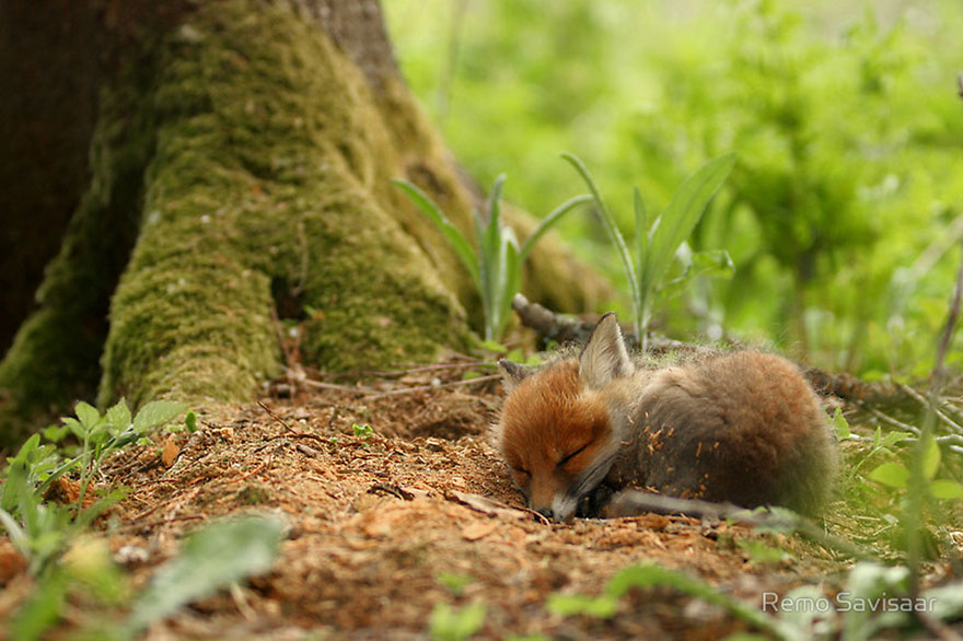 cute-baby-foxes-4-5744369763781__880
