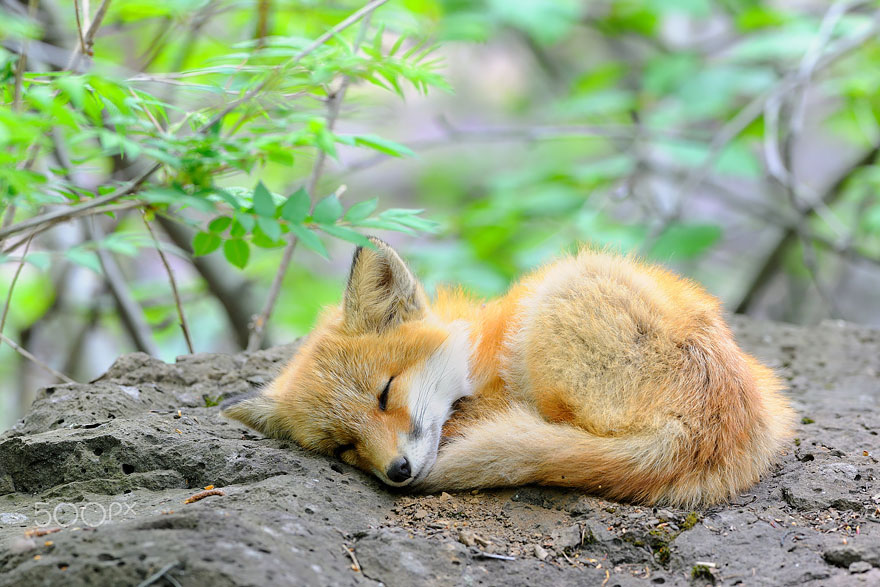 cute-baby-foxes-cubs-17-574436be67482__880