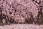 【スタバ】2月15日本日より、さくらをイメージしたドリンク発売!